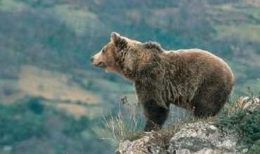 Facilitar el hábitat de los osos en León