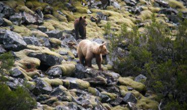 La población de osos se consolida en Laciana y alrededores