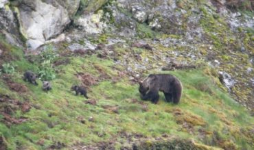 El cortejo de los osos en Laciana