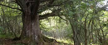 Bosques en Laciana y sus particulares árboles
