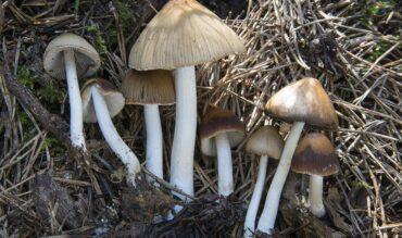 Laciana: tierra de setas y hongos únicos