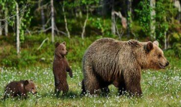 Comienza la época de avistamiento del oso pardo